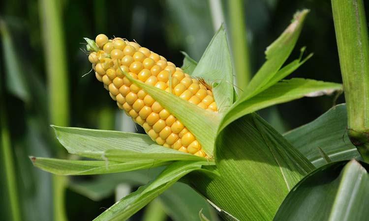 En México el Maíz no es un producto agrícola más